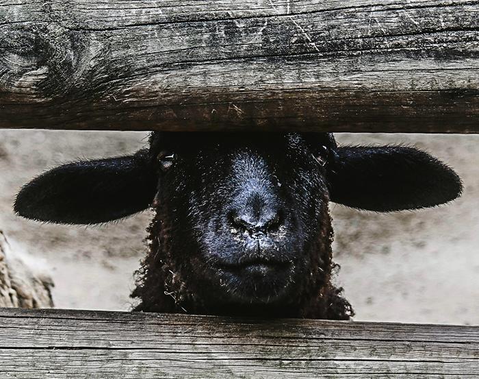 Schwarze Schafe und die Sache mit dem Markenschutz